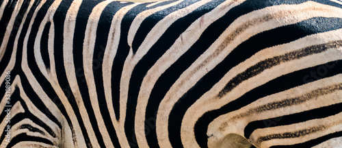 natural zebra pattern close up of wild animal/ kruger national parc south africa