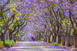 canvas print picture - Purple blue Jacaranda mimosifolia bloom in Johannesburg and Pretoria street during spring in October in South Africa