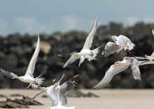 Tern On The Beach, Byron Bay A...