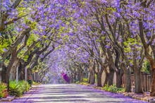 Purple Blue Jacaranda Mimosifo...