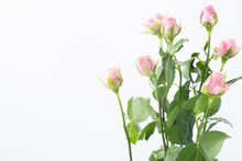 Pink Rose Isolated On White Background With Copy Space