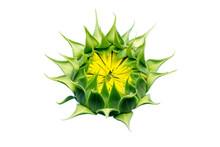 Young  Budding Sunflower Isola...