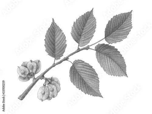 Slippery Elm Hand Drawn Pencil Illustration Isolated on White with Clipping Path Tapéta, Fotótapéta