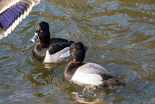 A Male Ring-necked Duck And A ...