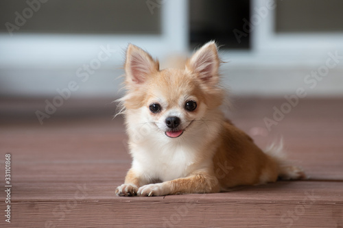 Photo browm chihuahua sitting on floor. small dog in asian house.