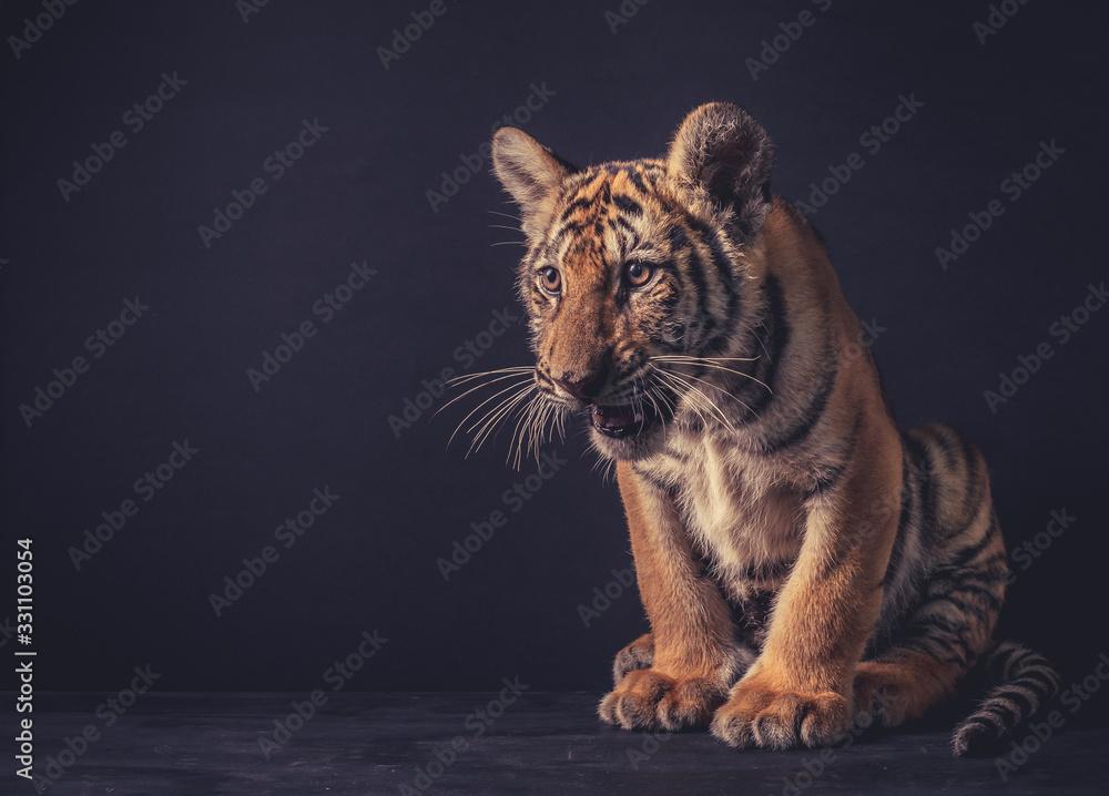Fototapeta Baby tiger on dark background