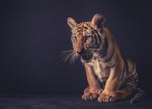 Baby Tiger On Dark Background