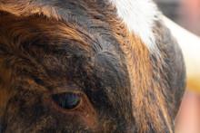 Longhorn Head Close-up