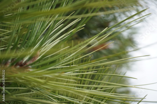 green, pine, nature, tree, plant, branch, needle, grass, macro, leaf, forest, evergreen, wheat, fir, christmas, closeup, garden, summer, close-up, season, leaves, texture, abstract, ponderosa pine