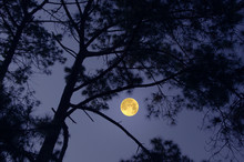 Black Pine Trees In Full Moon ...