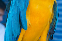 Blue-yellow Macaw Parrot Portr...
