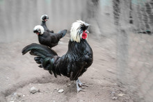 White Crested Polish Rooster A...