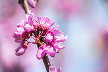 Close Up Of Western Redbud (Ce...
