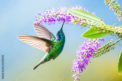 Fotografie, Obraz Blue hummingbird Violet Sabrewing flying next to beautiful red flower