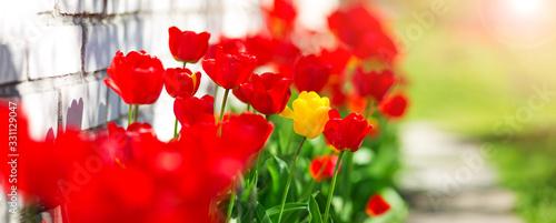 Obraz Tulips in flower beds in the garden in spring - fototapety do salonu