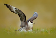 Skua In The Grass With Open Wi...