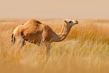 Dromedary Or Arabian Camel, Even-toed Ungulate With One Hump On Its Back. Camel In The Long Golden Grass In Egypt Meadow. Summer Day In The Wild Nature. Dromedary Walking In The Habitat.