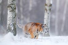 Tiger In Wild Winter Nature, R...