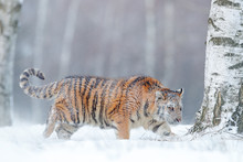 Tiger In Wild Winter Nature, R...