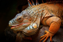 Wildlife Nature,  Big Lizard. Portrait Of Orange Iguana In The Dark Green Forest, Costa Rica. Wildlife Scene From Nature. Close-up Face Portrait Of Lizard From South America.