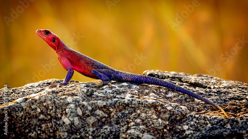 Mwanza flat-headed rock agama, aka spiderman agama, Northern Serengeti National Wallpaper Mural