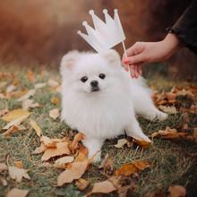 Funny Pomeranian Spitz Dog Por...