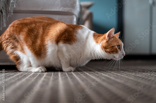 white and brown cat on a carpet is in attack position Canvas Print
