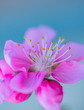 canvas print picture - peaches tree blooming, pink beautiful flowers