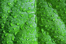 Green Fresh Leaf With Water Dr...