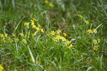 Yellow Star Of Bethlehem (Gagea Lutea) Group Of Flowers In The Grass, The Bulb Forming Perennial Herb Is Blooming In Early Spring , Copy Space