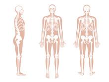 Human Man Skeleton Anatomy