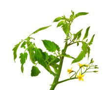 Tomato Seedlings With Flowers, On A White Background
