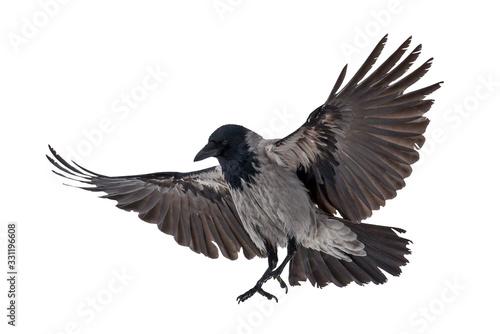 Fototapeta large grey isolated crow landing obraz