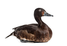 Baer's Pochard Diving Duck, Isolated On White