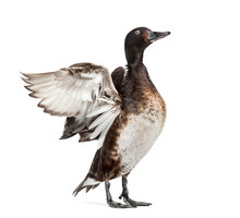 Baer's Pochard Spreading His Wings, Duck, Bird, Isolated On White