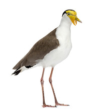 Masked Lapwing Standing In Front Of A White Background