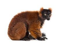 Red Ruffed Lemur Sitting, Isol...