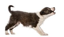 Border Collie Puppy Barking, I...