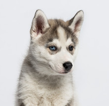 Close-up Of A Siberian Husky P...