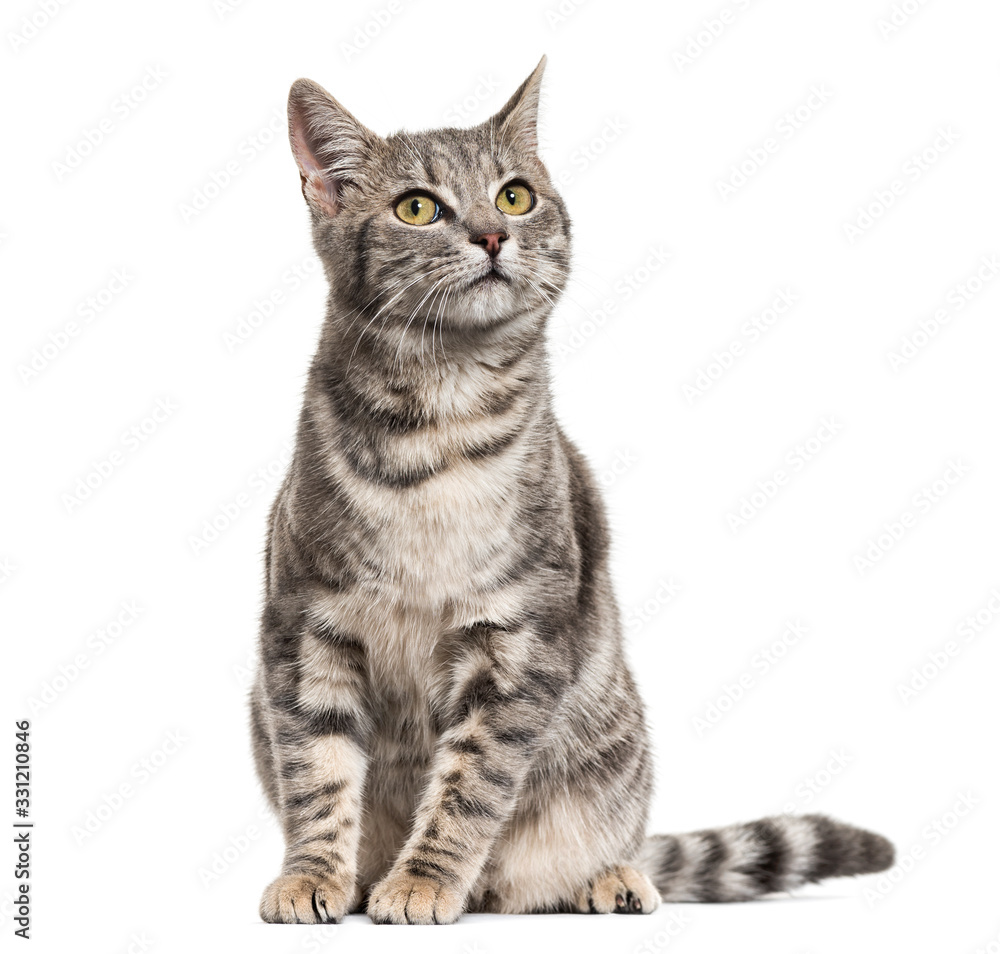 Fototapeta Grey stripped mixed-breed cat sitting, isolated on white