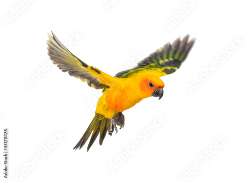 Fototapeta sun parakeet, bird, Aratinga solstitialis, flying, isolated