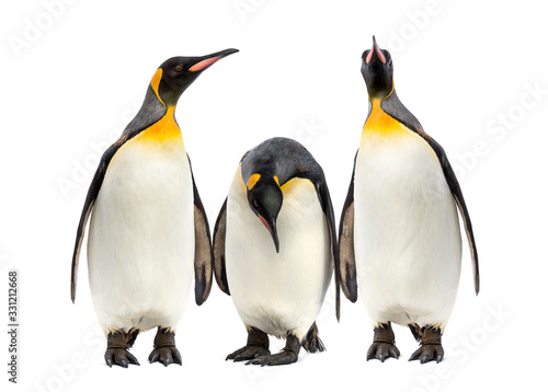 Obraz King penguins walking in a row, isolated - fototapety do salonu