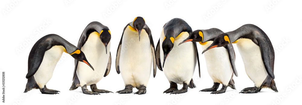 Fototapeta Colony of King penguins in a row, isolated on white