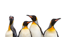 Close-up On A King Penguin Heads In A Row, Isolated