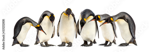 Cuadros en Lienzo Colony of King penguins in a row, isolated on white