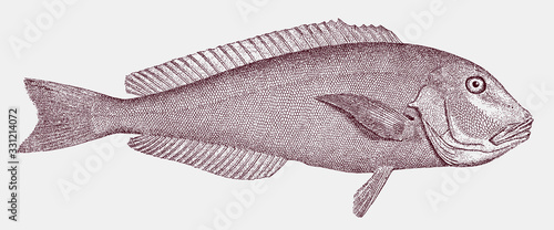 Grey or blueline tilefish, caulolatilus microps from the Western Atlantic Ocean Fotobehang