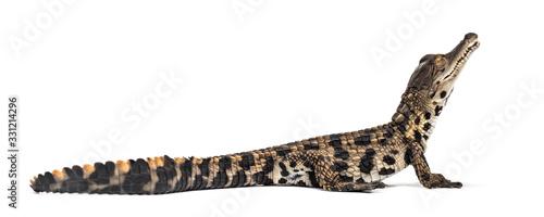 Obraz na plátně Young West African slender-snouted crocodile