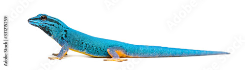 Side view of a Electric blue gecko, Lygodactylus williamsi Canvas