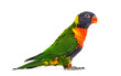Side view of a Rainbow Lorikeet, Trichoglossus moluccanus, isola