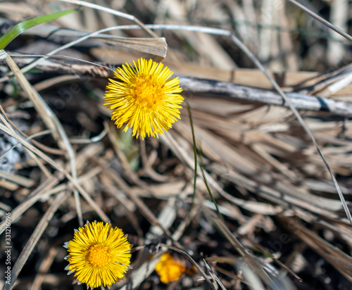 Obraz na plátne Close-up of the Tussilago farfara, blooming coltsfoot in early spring